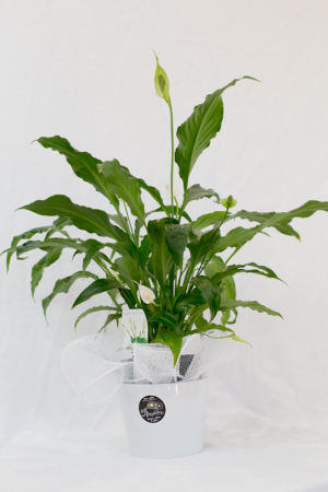 Peace Lily - potted plant