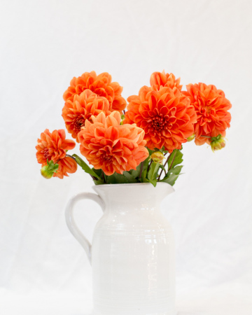 Dahlia`s (or available seasonal flowers) displayed in white ceramic jug or vase